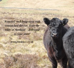 blackface header image with galloway cattle
